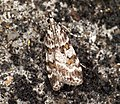 (1333) Scoparia pyralella (5867239212).jpg