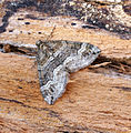 (1804) Barred Rivulet (Perizoma bifaciata) (19833764769).jpg