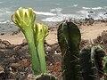 (Cereus hexagonus) cactus at Tenneti park 04.jpg