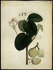 (Couma macrocarpa)