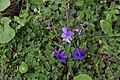 Παρνασσός Viola odorata.jpg