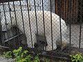 Белый медведь 2 (Penza Zoo 2016).jpg
