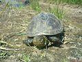Болотяна черепаха.jpg