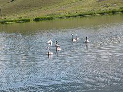 Городищенское озеро. Лебеди.jpg