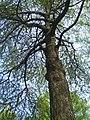 Група екзотичних дерев, м. Суми.JPG