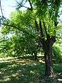 Дерево у дендропарку. Травень, 2018 рік.jpg