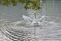 Лебедь на пруду.jpg