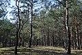 Ліс біля озера Велике Чорне.jpg