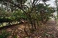 Немирівський парк, тисові насадження.jpg