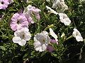 Растения в Седово 032.JPG