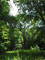 Старі дерева в парку.jpg