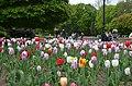 Тюльпани у сквері ім. Т.Г. Шевченка, м. Хмеьницький.jpg