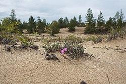 Цветущие пески.jpg
