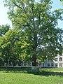 Чернігів. Багатовіковий дуб біля технологічного університету.JPG