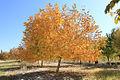 گردو-پاییز.jpg