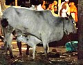 गौ-वत्सः Cow with Calf.jpg
