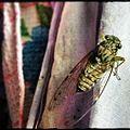 ചീവീട് Cicada.jpg
