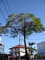 ต้นไม้ ถ.รามอินทรา - panoramio.jpg