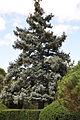 ნაძვი ჩხვლეტია Picea pungens Stechfichte.JPG
