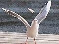 ユリカモメ (Black-headed Gull) (6665809041).jpg