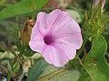 心萼薯 Aniseia biflora -香港船灣淡水湖 Plover Cove, Hong Kong- (9198131189).jpg