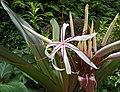 紅葉文殊蘭 Crinum asiaticum v procerum -香港公園 Hong Kong Park- (30259689893).jpg