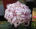 菊花-翻卷型 Chrysanthemum morifolium Curlies-ribbon-series -中山小欖菊花會 Xiaolan Chrysanthemum Show, China- (9193425382).jpg