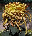 菊花-金鳳捧珠 Chrysanthemum morifolium 'Golden Phoenix Holding Pearl' -香港圓玄學院 Hong Kong Yuen Yuen Institute- (12099375384).jpg