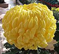 菊花-黃繡球 Chrysanthemum morifolium 'Yellow Embroidered Ball' -香港圓玄學院 Hong Kong Yuen Yuen Institute- (12129084805).jpg