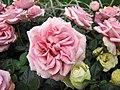 迷你玫瑰(Miniature rose) Rosa Rainbow's End -香港花展 Hong Kong Flower Show- (45922840394).jpg