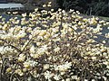 霊岩寺「ミツマタの花」 - panoramio.jpg