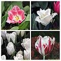 鬱金香 Tulipa cultivars 2 -香港花展 Hong Kong Flower Show- (15509795176).jpg