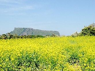 Jeju Province - Rapeseed fields in Jeju Island