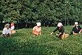04 - Colchis tea collection in Ochamchira region.jpg