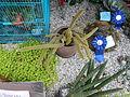 05667jfMidyear Orchid Cactus Shows Quezon Cityfvf 29.JPG
