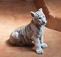 08-2011 - Panthera tigris tigris. Lanzarote - Spain - TP08.jpg