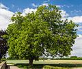 088 2015 05 26 Ein Walnussbaum (Wiki Loves Earth 2015).jpg