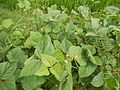 09438jfFranza Halls Vigna radiata Plants Science Munoz Ecijafvf 13.JPG