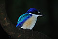 12F398 Forest Kingfisher 002.jpg