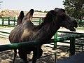 14.Двогорбий верблюд (12).jpg