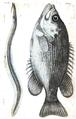 1844 BostonJournal NaturalHistory v4 illus2.png