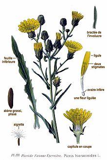 Toxicité Picris fausse épervière 220px-191_Picris_hieracioides_L
