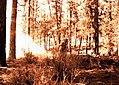 1923. Burning a felled and peeled tree for insect control. Area 2, Southern Oregon Northern California (SONC) control project. (33451006272).jpg
