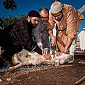 1 Animal sacrifice at Eid at Adha.jpg