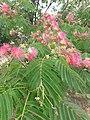 1 flores rosadas texas pink flower tree (1).jpg