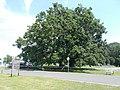 200-year-old oak tree, 2020 Sárvár.jpg