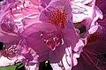 20030524280DR Bad Muskau Fürst Pückler Park Rhododendron.jpg