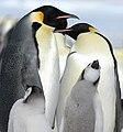2007 Snow-Hill-Island Luyten-De-Hauwere-Emperor-Penguin-104.jpg