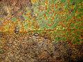 2012-05-27 Pucciniastrum sparsum (G. Winter) E. Fisch 244625.jpg