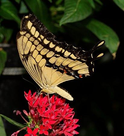 2012-07-20 14-51-32-Papilio cresphontes.jpg